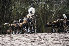 African Painted Dogs 16.02 (5) (R.J.Boyd) Tags: african painted dog chester zoo wildlife wild mammal animals canine
