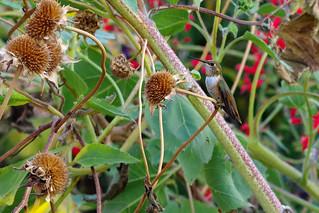 Entangled.  Rufous Hummingbird (Selasphorus rufus).  Albuquerque, New Mexico, USA.