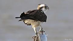 Osprey - Falco Pescatore (Pandion haliaetus) (Michele Fadda) Tags: canoneos70d sigma150600mmf563dgoshsmsport sardinia sardegna italy osprey falcopescatore pandionhaliaetus avifauna faunaprotetta nature natura free photoscape g22