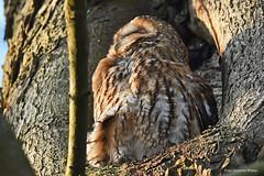 Waldkauz Sunny genießt die Sonne - Wildlife (Susanne Weber) Tags: kauz waldkauz eule vogel vögel tier wildlife natur baum kastanie