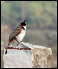 Red Whiskered Bulbul (Indianature st2i) Tags: redwhiskeredbulbul valparai anamalais anamallais anamalaitigerreserve westernghats tea shola rainforest nature indianature 2018 january february tamilnadu india life wildlife plantation forest people estate