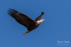 Bald Eagle approach and landing - 11 of 27