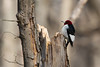 Red Headed Woodpecker (grobinette) Tags: redheadedwoodpecker woodpecker huntleymeadowspark huntleymeadows explored