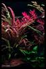 Green Aqua Showroom (viktorlantos) Tags: aquascaping aquascape adahungary aquariumplants aquarium aquascapingshopbudapest aquadesignamano plantedaquarium plantedtank plantedaquariumgallery greenaquagallery greenaquahungary növényesakvárium natureaquarium natureaquariumgoods interior inspiration interriordesign aquariumphotography underwaterphotography colors tropicarotalahra tropicaaquariumplants