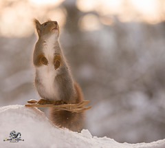 red squirrel standing on skis (Geert Weggen) Tags: animal backlit branchplantpart bright cheerful closeup cute humor ice looking mammal nature photography red rodent ski skipole smiling snow sport squirrel sun sweden tree winter wintersport woodmaterial square cold redsquirrel split acrobat skirods pinecone jump bispgården jämtland geert geertweggen weggen hardeko swedish jämtlan ragunda