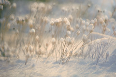 Snow Capped (lfeng1014) Tags: snowcapped snow snowy dryflowers winter multipleexposure canon5dmarkiii 70200mmf28lisii dof depthoffield closeup bokeh dreamy light lifeng