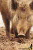 Wild boar (Ed Betteridge Photography) Tags: mammal boar forest animal nature wildlife uk sigma closeup sony