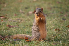 Squirrels in Ann Arbor on a Wet Winter's Day at the University of Michigan (January 22nd, 2018 (cseeman) Tags: gobluesquirrels squirrels annarbor michigan animal campus universityofmichigan umsquirrels01222018 winter eating peanut januaryumsquirrel umsquirrel wet