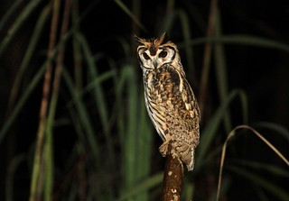**** Striped Owl / Hibou strié /  Pseudoscops clamator
