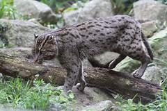 Chat viverrin_PONGO (Passion Animaux & Photos) Tags: chat viverrin pecheur fishing cat prionailurus viverrinus parc animalier saintecroix france