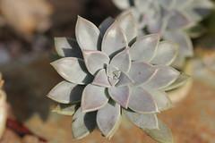 Graptoveria paraguayense