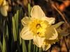 Full Daffodil 3/3/2018 (clarkcg photography) Tags: yellow evening light sunset golden insect bug pollen sweet sunshinesundays