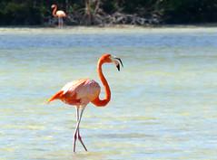 Flamenco, American Flamingo (Phoenicopterus ruber) (Francisco Piedrahita) Tags: aves birds yucatán méxico flamenco americanflamingo phoenicopterusruber