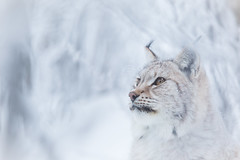 Blending in... (CecilieSonstebyPhotography) Tags: bokeh portrait eurasianlynx lynx winter cute closeup cat canon animal norway markiii whiteout gaupe langedrag canon5dmarkiii january snow pretty snowflakes endangered catfamily white specanimal specanimalphotooftheday