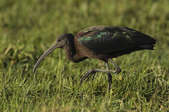 Glossy Ibis - In January! We won the bird lottery! (Ann and Chris) Tags: glossyibis rare bird colourful feathers wildlife wild suffolk nature avian amazing canon7dmarkii