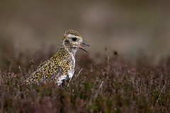 Golden Plover (Simon Stobart) Tags: golden plover pluvialis apricaria heather northeast england naturethroughthelens coth5 ngc npc