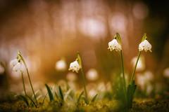 paradiesgärtlein (_andrea-) Tags: sonya7m2 carlzeiss märzenglöckchen outdoor objektiv mount planart1450 lowpov bokeh bokehshots bokehjunkie springflowers frühblüher nature flowers flickrdiamond