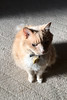 Studies of Norio 1 (sjrankin) Tags: 5february2018 edited animal cat norio sun light sunlight shadow carpet upstairs yubari hokkaido japan