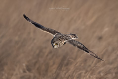 Short-Eared Owl (stephenwalshphoto) Tags: