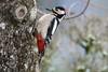 Mister pic (DorianHunt) Tags: birds bokeh backyard servion switzerland 2018 february greatspottedwookpecker nikond500 sigma 150600mm