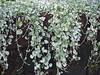 Dichondra argentea (tgrauros) Tags: botaniskaträdgårdenlundsuniversitet konungariketsverige lund suècia sverige sweden dichondraargentea silvernjurvinda silverfalls silverponysfoot