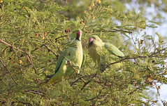 rose-ringed parakeet (praveen.ap) Tags: roseringed parakeet roseringedparakeet rose ringed ringnecked ring necked valentines day valentinesday pair keoladeo keoladeonationalpark keoladeoghananationalpark bharatpur bird sanctuary bharatpurbirdsanctuary rajasthan
