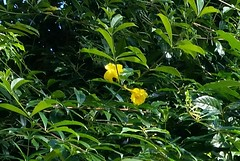 Allamanda-cathartica-var-williamsii_HonoluluZoo_Cutler_20180116_152644 (wlcutler) Tags: oahu hawaii honoluluzoo allamanda allamandacatharticawilliamsii williamsii yellowflowers doubleflowers doubleyellowflowers