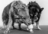 Aila and Dinja op het strand (Ramireziblog) Tags: friends drinken water hund hond dog finse lappenhond kultasepan strand beach