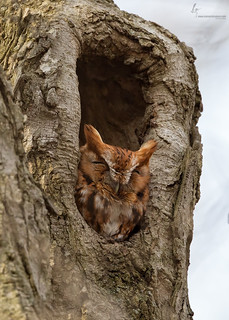 Eastern Screech Owl, Red-morph