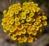 Verticordia cooloomia, Kings Park, Perth, WA, 20/11/17 (Russell Cumming) Tags: plant verticordia verticordiacooloomia myrtaceae kingspark perth westernaustralia