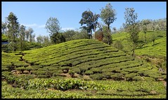 Tea Mound (Indianature st2i) Tags: valparai anamalais anamallais anamalaitigerreserve westernghats tea shola rainforest nature indianature 2018 january february tamilnadu india life wildlife plantation forest people estate