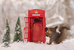 red squirrel holds a horn with an Telephone Booth (Geert Weggen) Tags: animal closeup communication cute fear food fun hair holidayevent humor looking mammal mystery nature photography red rodent square squirrel sweden taillight talking telephone telephonebooth tree talk phone connect winter snow christmas holiday bispgården jämtland geert weggen ragunda