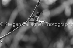 Getting Ready For Takeoff (keegsley) Tags: hummingbird humming tree branch black white allegheny forest minister creek trumans pennsylvania pa