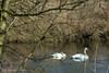 iced swan lake (photos4dreams) Tags: gersprenz münster hessen germany naturschutz nabu naturschutzgebiet photos4dreams p4d photos4dreamz nature river bach flus naherholung swan swans schwäne schwan