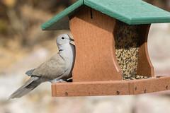 Backyard birds (emeksv) Tags: darkhorse animals birds flickr homes sell type coloradosprings colorado unitedstates us