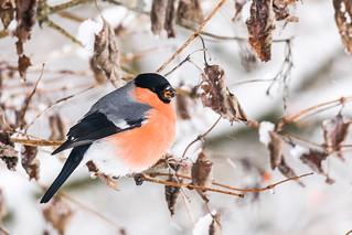 Bullfinch/ Gimpel
