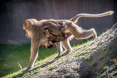 Riding Upside Down (helenehoffman) Tags: mother africarocks sandiegozoo conservationstatusleastconcern monkey primate mammal baby ethiopianhighlands motherandchild papiohamadryas baboon oldworldmonkey hamadryasbaboon animal zoosofnorthamerica