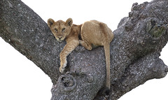 Ready For The Weekend ? (AnyMotion) Tags: lion löwe pantheraleo young jung tree baum branchfork astgabelung liontree 2018 anymotion morukopjes serengeti tanzania tansania africa afrika travel reisen animal animals tiere nature natur wildlife 7d2 canoneos7dmarkii ngc npc