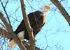 bald eagle at Lime Springs IA 854A3323 (lreis_naturalist) Tags: bald eagle lime springs howard county iowa larry reis