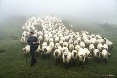 Bajando el rebaño al valle (Jabi Artaraz) Tags: jabiartaraz jartaraz zb euskoflickr gorbea aldamin aldaminazpe sheep ovejas rebaño pastor jon nature landscape
