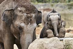 Guckguck (hbothmann) Tags: köln nrw deutschland zoo zooköln zoocologne zoocolonia zoodecologne zoologischergartenköln colognezoologicalgarden kolonia cologne colonia colônia elefant