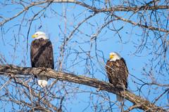 Silent Argument (jeff_a_goldberg) Tags: americanbaldeagle baldeagle wildlife winter nature bird haliaeetusleucocephalus eagle redwing minnesota unitedstates us