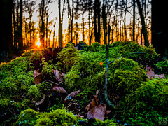 Day ends (MAICN) Tags: 2018 mossy moos baum tree nature sonnenuntergang forest wald natur sunset