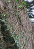 Celtic ivy (jinxmcc) Tags: ivy layers entangled patterns celtic pointarena mendocinocounty northerncalifornia