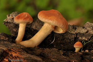 Gymnopilus-suberis