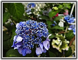Toronto Ontario - Canada - Edwards Botanical Garden - Hydrangea Purple Flower