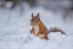 Red Squirrel (Nigey2) Tags: