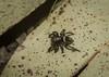 leaf litter jumper (dustaway) Tags: arthropoda arachnida araneae araneomorphae salticidae euophryinae genus jumpingspider leaflitterjumper australianspiders richmondrange richmondrangenationalpark clarencevalley northernrivers nsw nature australia