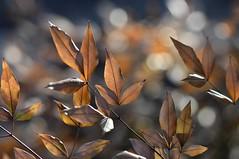 Forest fairy lights (KsCattails) Tags: bokeh kscattails leaves nature overlandparkarboretum winter woods lights magical forest