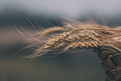 Wheat (Inka56) Tags: wheat 7dwf macroorcloseup closeup basket bokeh hbw throughherlens